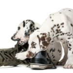 48904101 - two dalmatian puppies chewing shoes in front of a white background
