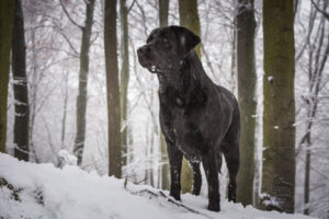 Does My Labrador Need A Coat In Winter